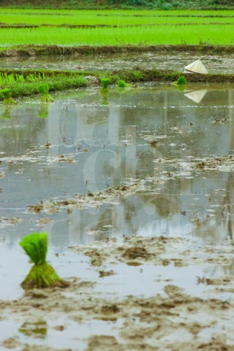 Laos Rice Fields